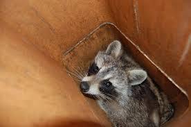 racoon inside flue